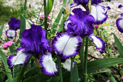 Irises flowers. Beautiful lilac and white irises in spring. Stock Photography