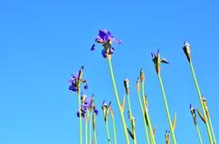 Irises. Flowers from the family Iridaceae Stock Photos