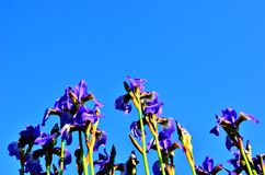 Irises. Flowers from the family Iridaceae Royalty Free Stock Photos