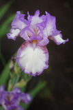 Irises flowers in the garden Stock Photography