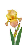 Irises flowers it is. A holiday stock images