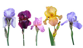Irises flowers. It is isolated a holiday royalty free stock photo