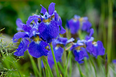 Irises in the garden Stock Images