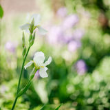 Irises on green background Royalty Free Stock Photo