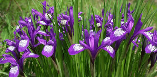 Irises on a green meadow. Blossoming irises on a green meadow Royalty Free Stock Image