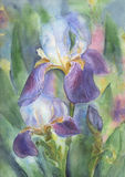 Irises Stock Image
