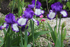 Irises, lilac and white colored . Iris flower with delicate petals.  Green scenery. Royalty Free Stock Photography
