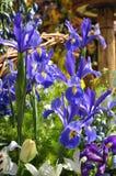 Irises Stock Images
