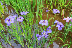 Irises in Meiji Shrine in Tokyo Royalty Free Stock Photo