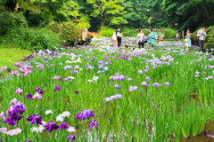 Irises in Meiji Shrine in Tokyo Royalty Free Stock Photos