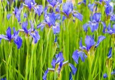 irises Närbild av irisblomman rengöringsduk för universal för mall för sida för iris för hälsning för bakgrundskortblomma Royaltyfri Fotografi