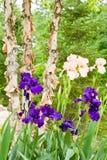 irises persikapurple Arkivfoto