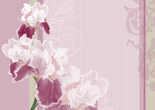 Irises on a pink background Royalty Free Stock Photo