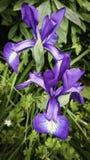 irises purple royaltyfria foton