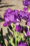 irises purple Arkivbild