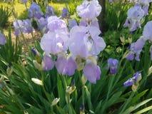 irises purple royaltyfri bild