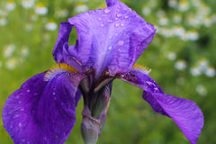 Irises after the rain. Iris flower with rain drops on the petals.  Delicate fresh flowers. Stock Image