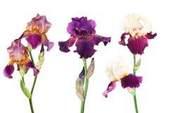 irises sorter tre Arkivfoton