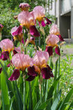 Irises in spring. Colorful iris flower with delicate petals. stock photography