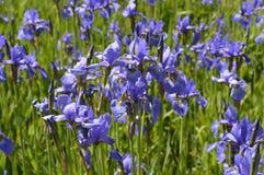 Irises - spring, purple flowers. Irises - beautiful, spring, purple flowers, meadow with flowers royalty free stock image