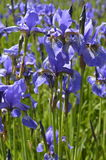 Irises - spring, purple flowers. Irises - beautiful, spring, purple flowers, meadow with flowers Royalty Free Stock Photography