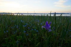 Irises in the steppe 5 minutes before sunrise. In early June, the steppe is covered with blooming flowers, before the sunrise strong dew fell on the flowers and stock photos