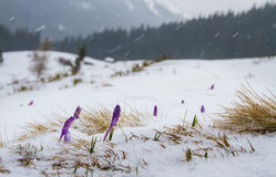 Irises under the snow. Royalty Free Stock Photos