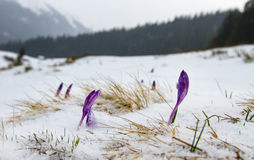 Irises under the snow. Royalty Free Stock Images