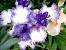 Irises. Unusual multicolored irises in my garden Stock Image