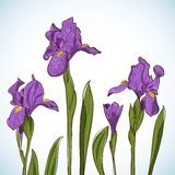 Irises, vector illustration Royalty Free Stock Photography