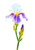 Irises, watercolor Stock Photography