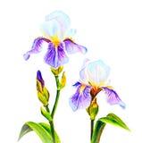 Irises, watercolor Stock Image