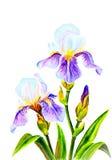 Irises, watercolor Royalty Free Stock Image