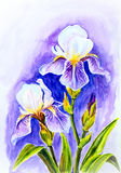Irises, watercolor Stock Photos