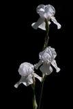 irises white royaltyfri foto