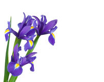 Irises on a white background Royalty Free Stock Images
