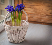 Irises in a white basket  on the window. Spring still life of flowering bulbous irises in a white basket  on the window Royalty Free Stock Photos