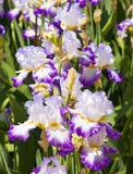 Irises white and purple Stock Images