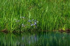irises wild Royaltyfri Bild