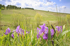 irises wild Arkivfoto