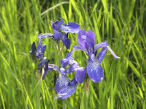 irises wild just rained Arkivbilder
