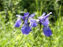 irises wild just rained Fotografering för Bildbyråer