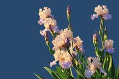 IrisesFlowers der zwei-farbigen Iris lokalisiert auf einem blauen Hintergrund Freier Platzkopienraum für Aufschrift Stockfotografie