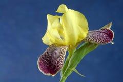 Irisez la fleur Images stock