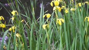 Irisez le drapeau jaune de pseudacorus, drapeau d'eau jaune, levier est des espèces dans le genre iris, de l'Iridaceae de famille banque de vidéos