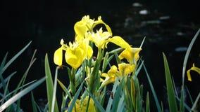 Irisez le drapeau jaune de pseudacorus, iris jaune, drapeau de l'eau, levier est des espèces dans le genre iris, de l'Iridaceae d banque de vidéos
