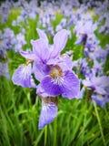 Irisez une fleur la fin violette bleu-clair vers le haut de l'élevage dans un jardin verticalement Famille d'Iridaceae images libres de droits