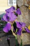 Irisfiolet en hout Stock Fotografie