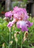 Irisgartenblume, die im Garten blüht, Lizenzfreie Stockfotografie