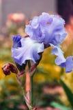 Irisgartenblume, die im Garten blüht, Lizenzfreies Stockfoto